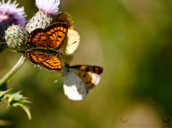 Lycaena salustius, The Common Copper