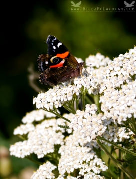 New Zealand Red Admiral, Vanessa gonerilla.