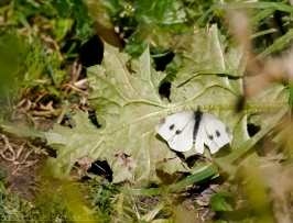 Cabbage White Butterfly, Pieris rapae,