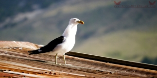 Karoro, the black-backed gull