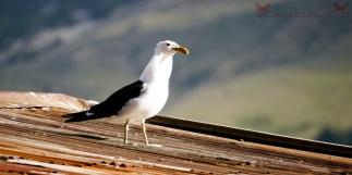Karoro, the black-backed gull