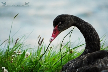 Black Swan, Otago Peninsula, New Zealand.