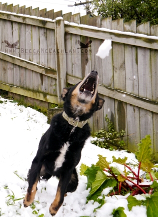Mack catching snow balls.