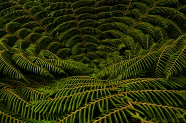 Cyathea Smithii (Soft Tree Fern). New Zealand Native Fern, Purakanui, Dunedin, New Zealand.