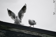 Seagulls, Portobello, Otago Peninsula, New Zealand.