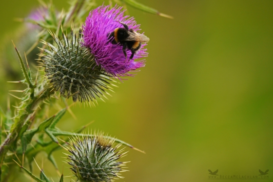 Bumble Bee and Scottish Thistle, Otago Peninsula, New Zealand.