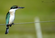 Sacred Kingfisher, Kōtare, Otago Peninsula, New Zealand.