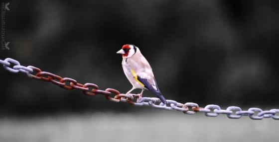 European Goldfinch, Dunedin, New Zealand.