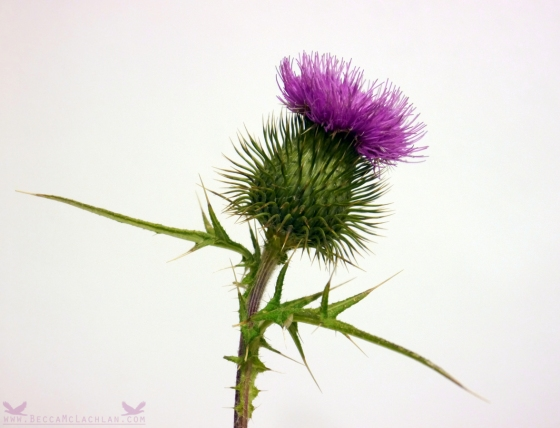 Scottish Thistle - For Dad.