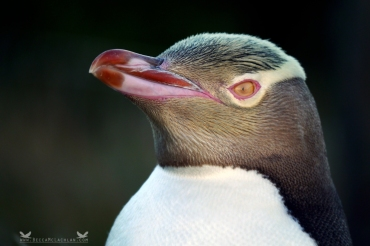 Hoiho or Yellow-eyed Penguin (Megadyptes antipodes). Katiki Point, Moeraki Peninsula, New Zealand.