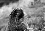 Kekeno or New Zealand Fur Seal (Arctocephalus forsteri), Katiki Point, Moeraki Peninsula, New Zealand.
