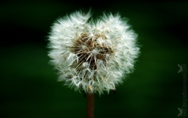 Taraxacum, Dandelion Blowball or Seed head Heart.