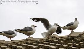 Red-billed gull - Larus novaehollandiae Stephens