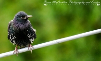 Day 8 - 08/01/17 - Starling