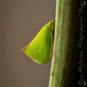 Day 19 - 19/01/17 - Green Planthopper - Siphanta acuta