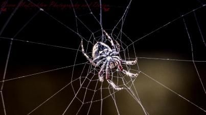 Day 21 - 21/01/17 - Garden Orbweb Spider - Eriophora pustulosa (Walckenaer)