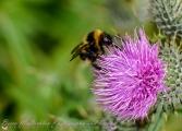 Day 34 - 03/02/17 - Bumblebee - Bombus hortorum