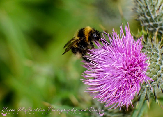 Day 34 - 03/02/17 - Bumblebee - Bombus hortorum