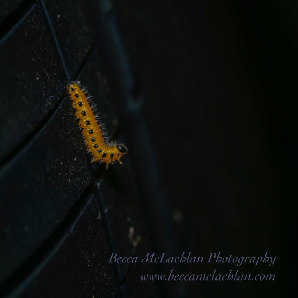 Poplar Sawfly Larva